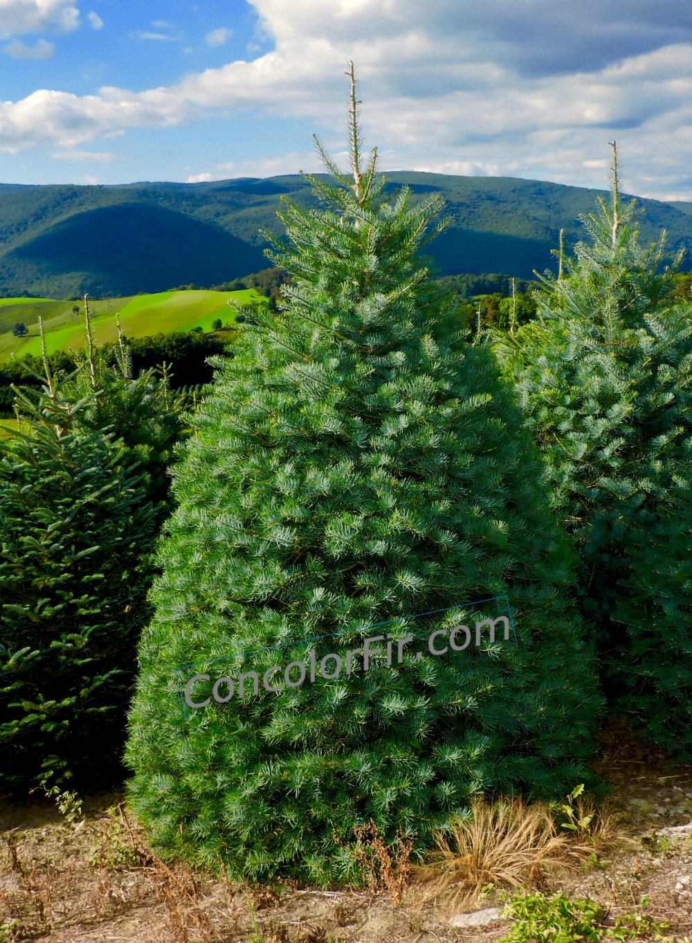 concolor-fir-watermark